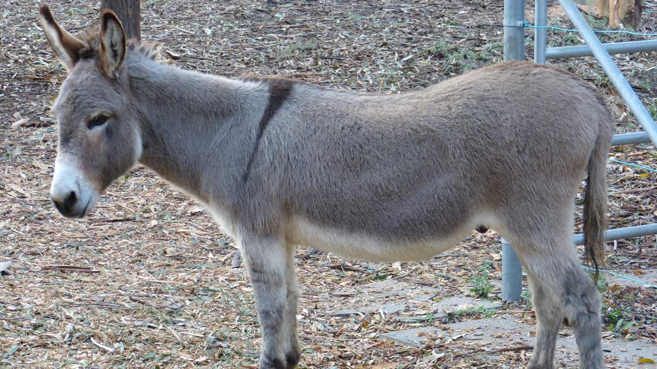 shrek donkey perry