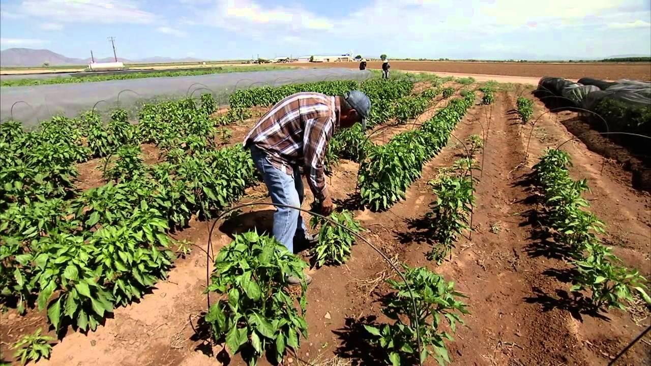 Chili-farming