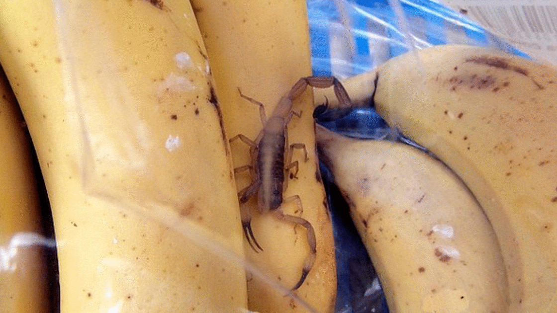 scorpion in bananas Cropped
