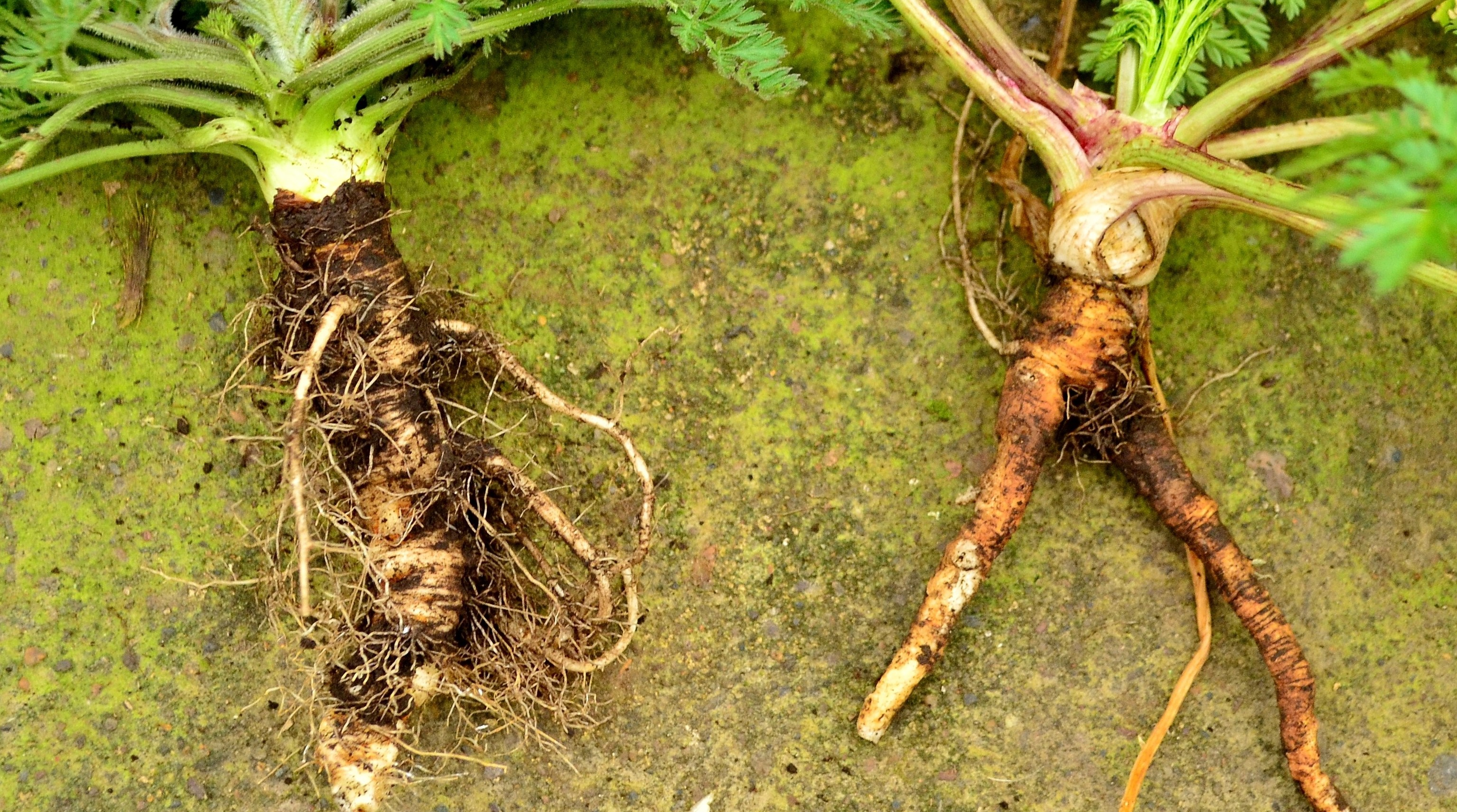 Old carrot Via The Northwest Forager