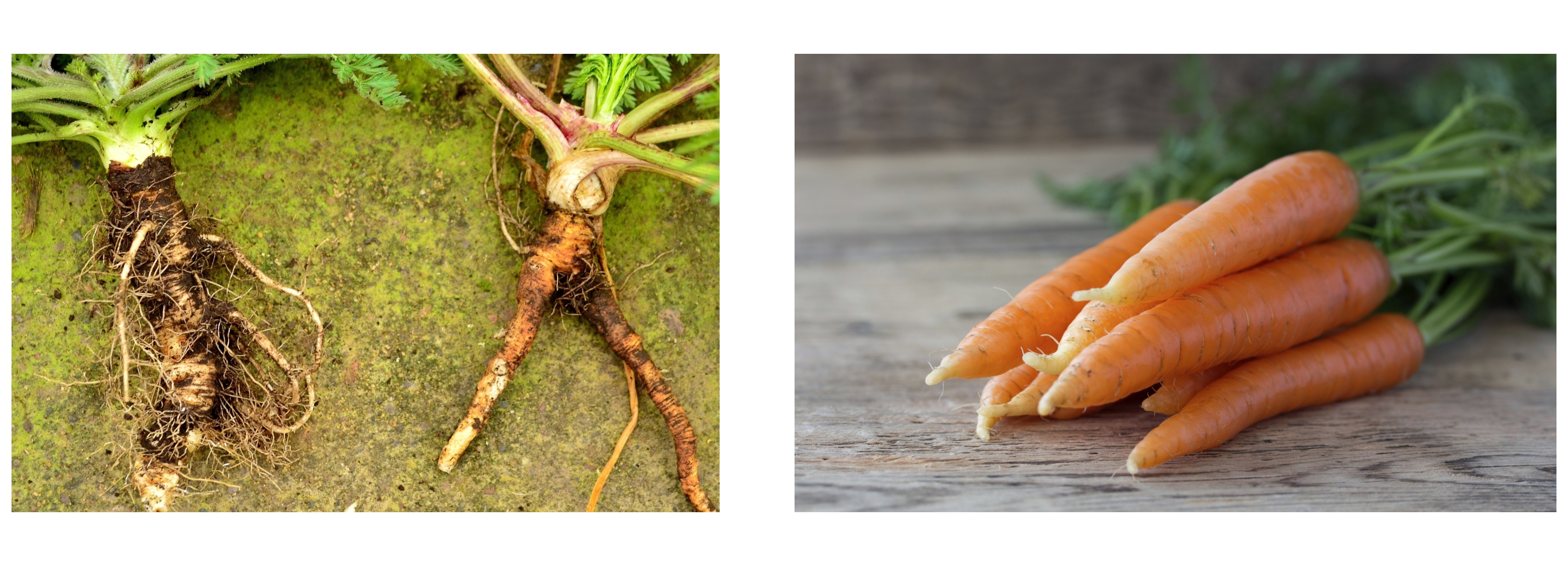 Old+new carrot