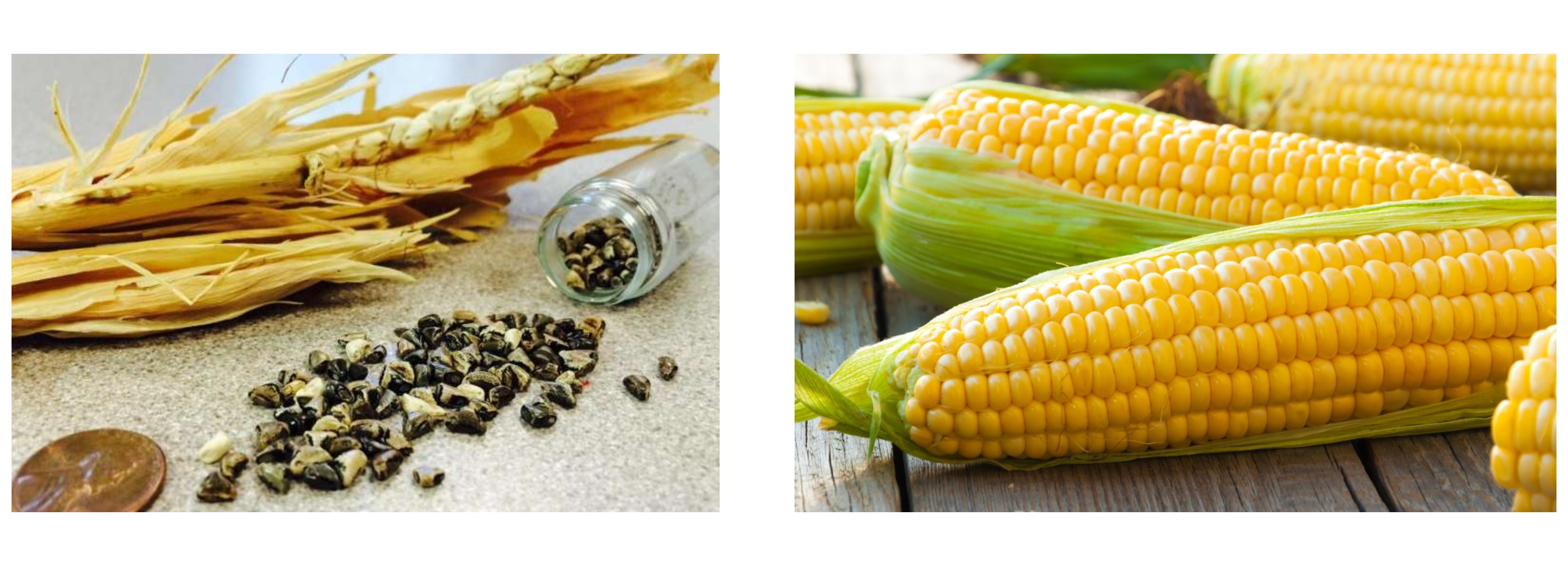 Old+new corn
