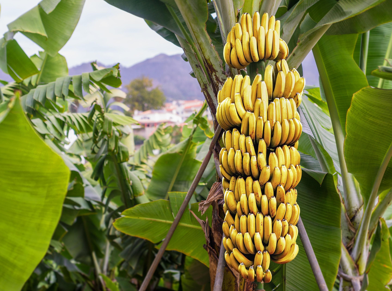 bananas plant – Bananas don't grow on trees
