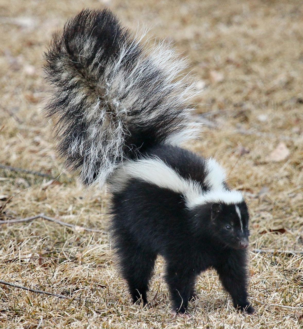 Coca Cola deodorizes skunk smell