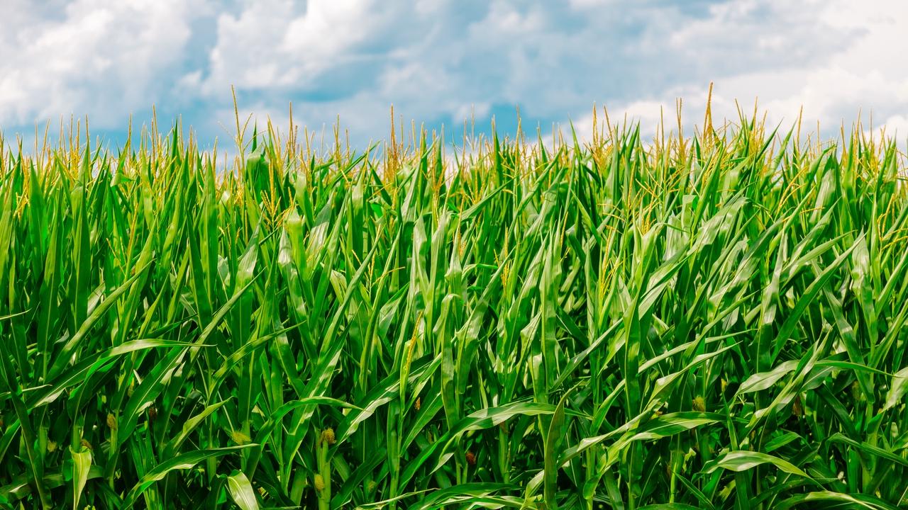 Fritos Facts- Corn