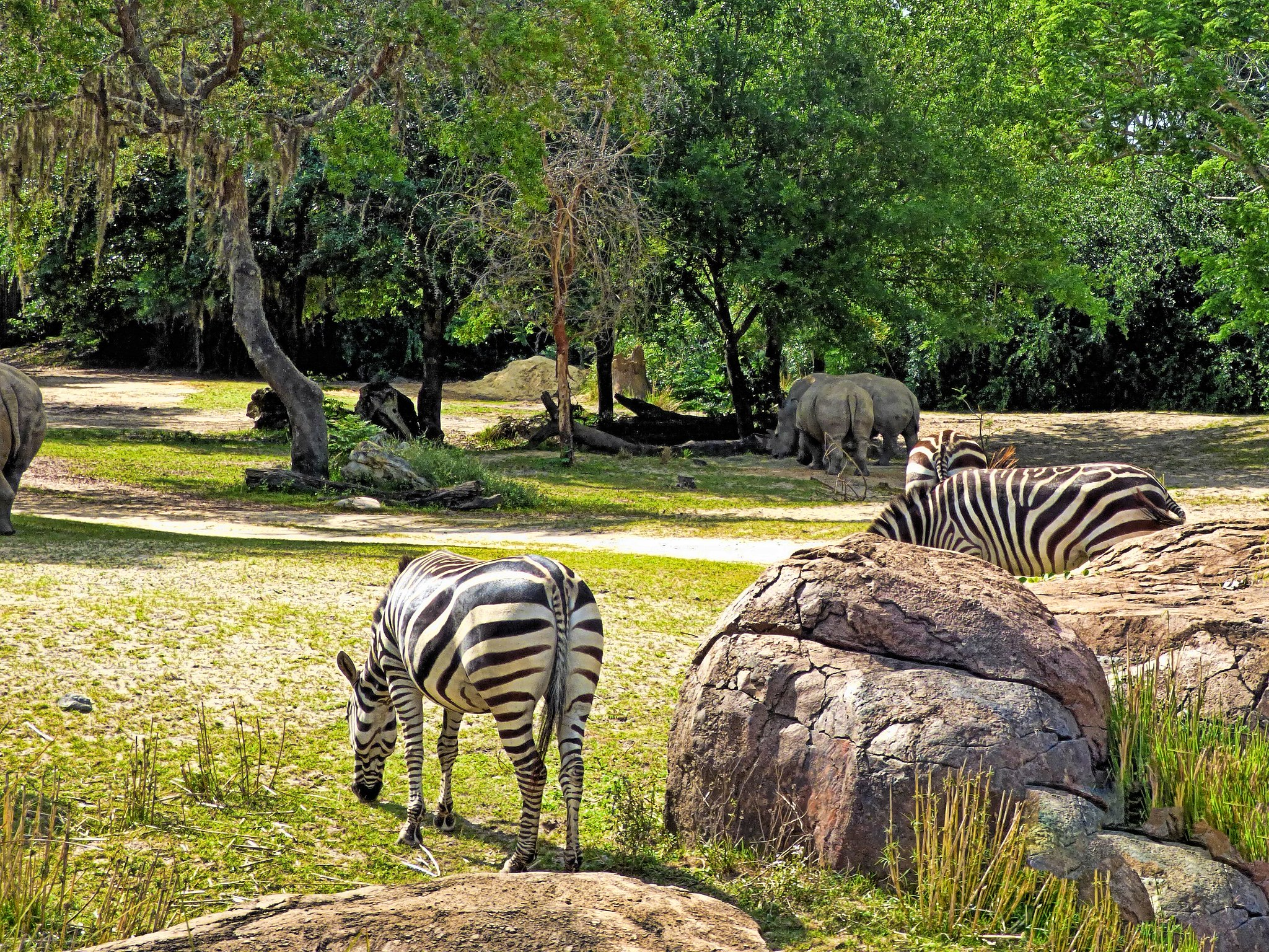 zebras and rhinos in forest