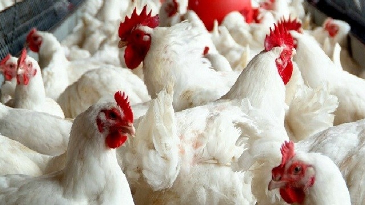 Chickens raised for food